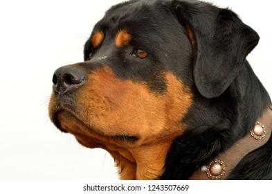 Rottweiler ranch dog