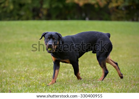 Rottweiler Running Field Playing Stock Photo Edit Now 330400955
