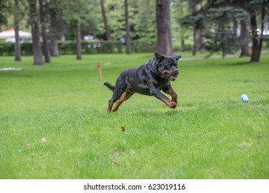 Rottweiler Running On The Grassselective Focus On The Dog Ez Canvas