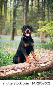 Rottweiler sitting in a woodland