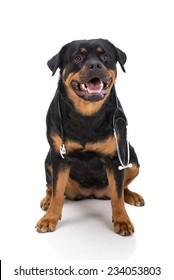Rottweiler with stethoscope around neck, isolated on white background.