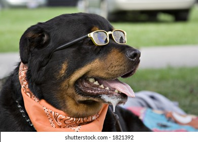 Rottweiler wearing a neck scarf and sunglasses enjoys summer afternoon in park.