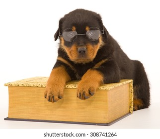Rottweiler wearing reading glasses lying over large book on white background