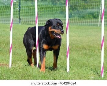 Rottweiler Weaving Through Poles at a Dog Agility Trial