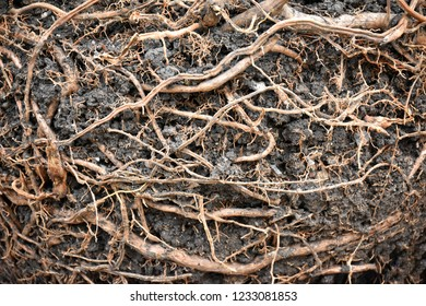 Rouge and fibrous root​ with​ black loam.