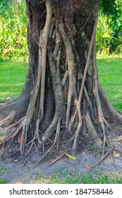 The rough banyan bark trunk and root