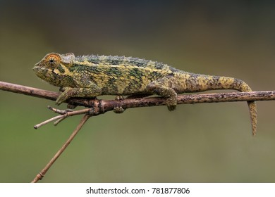 Rough chameleon in forest