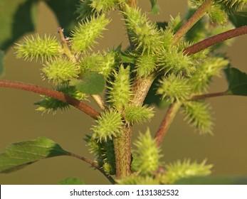 Rough cocklebur seeds close up, Xanthium strumarium