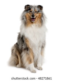 Rough Collie, 18 months old, sitting in front of white background