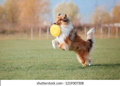 The Rough Collie dog catching a plastic disc
