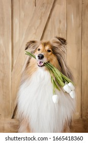 The Rough Collie dog at home. Dog inside