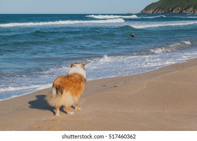 Rough collie dog ready to save man in sea