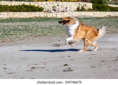 Rough collie (dog) is running happily with a stick on the beach