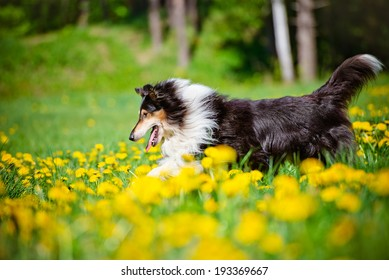 rough collie dog running outdoors