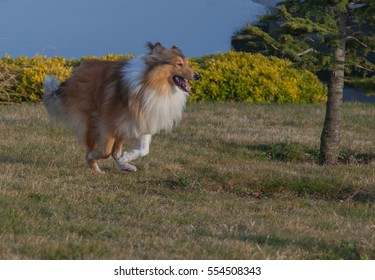 Rough collie dog running in the park