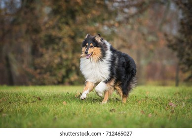 Rough collie dog running in the park autumn