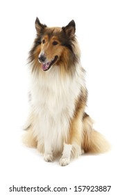 Rough Collie dog or Scottish Collie isolated over white background