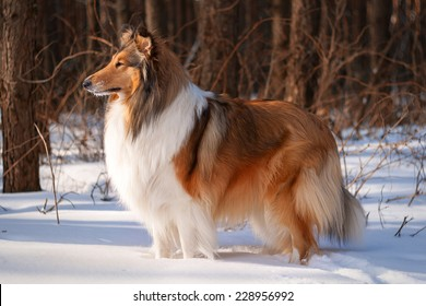 A rough collie dog standing in a snowy winter forest lit by soft sunset light.