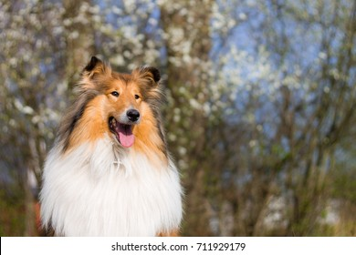 Rough collie with gold hair, white blooms in background, spring,