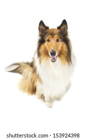 Rough Collie isolated over white background
