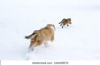 Rough collie puppy chasing a tabby cat through the snow