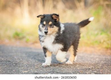 Rough collie puppy running