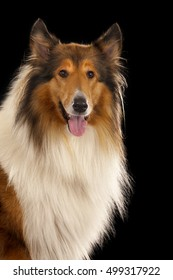Rough Collie or Scottish Collie isolated over black background