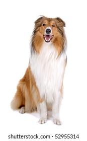 rough collie - Scottish shepherd (lassie)  over white