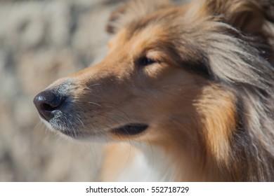 Rough collie snout profile soft focus