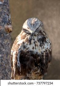 rough legged hawk close up portrait