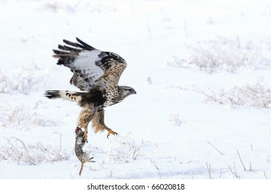 Rough Legged Hawk with dead ground squirrel