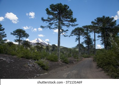 Rough Road Through Monkey Puzzle Trees