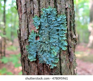 Rough speckled shield lichen (Punctelia rudecta) with blue-green foliose thallus, isidia, and pseudocyphellae growing on forest tree trunk bark in the woods of Upstate New York.