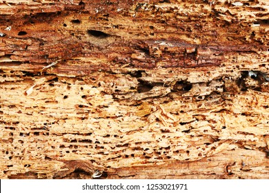 rough texture of wood destroyed by boring insects, Anobium punctatum or the common furniture beetle