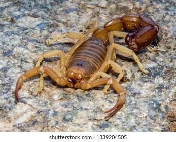 Rough Thicktailed Scorpion (Parabuthus granulatus)