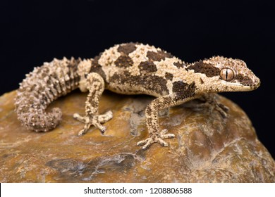 Rough Thick-toed Gecko (Pachydactylus rugosus)
