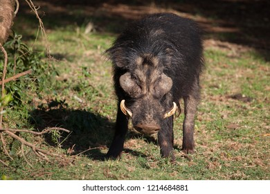 Roughest looking boar you will ever see