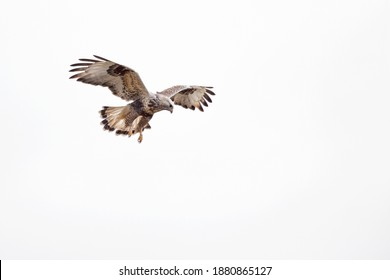 A rough-legged buzzard hovering in search for prey - Shutterstock ID 1880865127