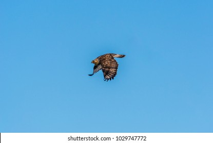 Rough-legged hawk (Buteo lagopus) flying against a blue sky shortly after it left its perch on an electric power wire, photographed in winter in Samish Flats, Skagit County, Washington.