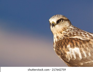 Rough-legged Hawk, Buteo lagopus   light morph Close up portrait in soft morning sunlight against a natural background of blue bird of prey, raptor, called Rough Legged Buzzard in eurasia