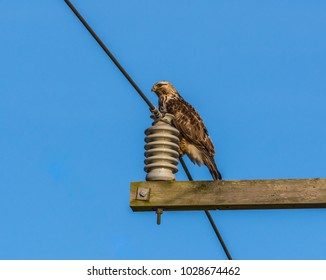Rough-legged hawk (Buteo lagopus) perched on a power wire near a large electrical insulator attached to a crossarm of a utility pole, photographed in winter in Samish Flats, Skagit County, Washington.