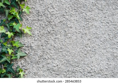 Roughly plastered gray wall with climbing ivy (Hedera helix) on it. Background.