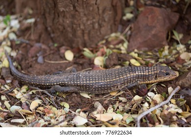 rough-scaled plated Lizard, Gerrhosaurus major, lying still on the forest floor