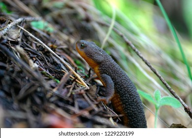 Rough-skinned Newt (Taricha granulosa) in the Redwoods of Audubon Canyon Ranch, California
