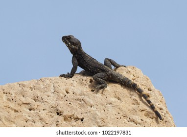 roughtail rock agama lizard or hardun lizard (Stellagama stellio or Laudakia stellio stellion or Lacerta stellio)