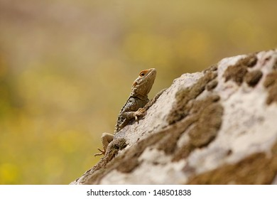 Roughtail Rock Agama lizard in natural environment Turkey