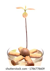Round avocado pear seed germinating in water, winecork flotation method