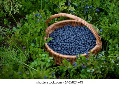 A round basket full of fresh bilberries. Season: Summer. Location: Western Siberian taiga.