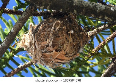 A round bird's nest is seen from below. It is made largely from paper-bark, as well as some twigs and grasses. It is in a pine tree.