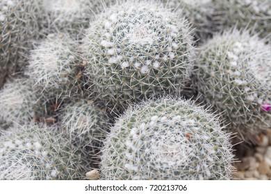 Round Cacti
